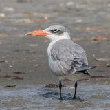 Caspian Tern (5)