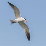 Caspian Tern (6)