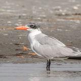 Caspian Tern (7)