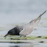Black Tern (1)