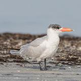 Caspian Tern (8)