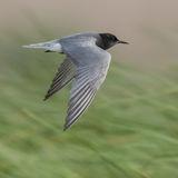 Black Tern (2)