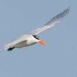 Caspian Tern (9)