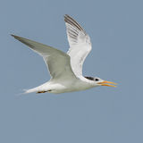 Royal Tern (1)