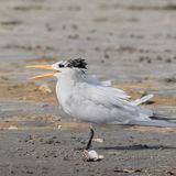 Royal Tern (2)