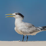 Greater Crested Tern (1)