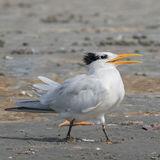 Royal Tern (3)