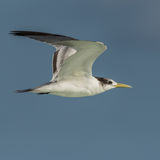 Greater Crested Tern (2)