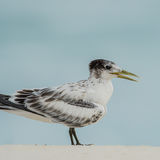 Greater Crested Tern (3)