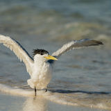 Greater Crested Tern (4)