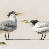 Greater Crested Tern (6)