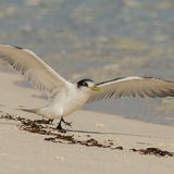 Greater Crested Tern (7)