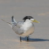 Greater Crested Tern (8)