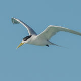 Greater Crested Tern (9)