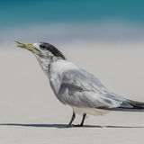 Greater Crested Tern (10)