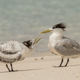 Greater Crested Tern (11)