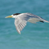 Greater Crested Tern (12)