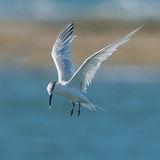 Sandwich Tern (1)
