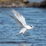 Sandwich Tern (2)