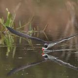 Black Skimmer (8)