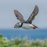 Atlantic Puffin (12)