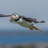 Atlantic Puffin (13)