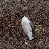 Common Guillemot (1)