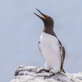 Common Guillemot (3)