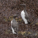 Common Guillemot (5)