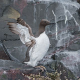 Common Guillemot (8)