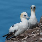 Northern Gannet (4)