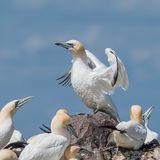 Northern Gannet (5)