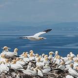 Northern Gannet (6)