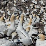 Northern Gannet (7)