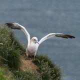 Northern Gannet (11)