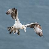 Northern Gannet (12)