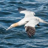 Northern Gannet (13)