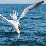 Northern Gannet (14)