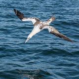 Northern Gannet (15)