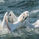 Northern Gannet (17)