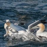 Northern Gannet (18)