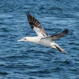 Northern Gannet (24)
