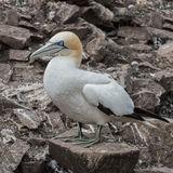 Northern Gannet (25)