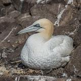 Northern Gannet (26)