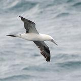 Northern Gannet (28)