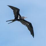 Lesser Frigatebird (1)