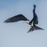 Lesser Frigatebird (2)