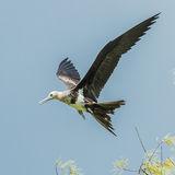 Lesser Frigatebird (3)