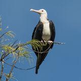 Great Frigatebird (6)