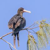 Great Frigatebird (7)